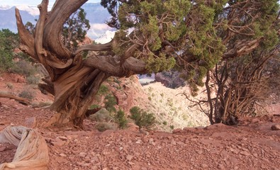 Pinyon Pine Tree on the South Rim of the Grand Canyon
