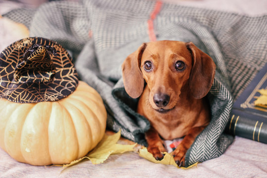 dachshund on the bed, home comfort, warm
