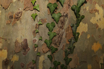 green ivy on camouflage tree bark texture