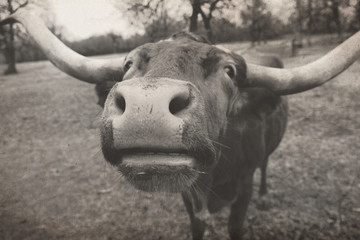 Wall Mural - Cute longhorn cow puts big nose close to camera on Texas cattle farm.
