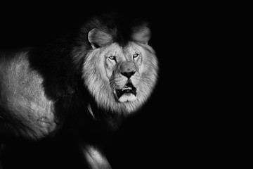 Lion in black and white colours