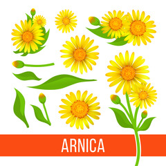 Arnica floral design elements. Set of flowers with leaves, buds and branches. Aromatherapy ingredient, herbal, medical item