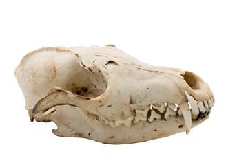 Red Fox, Vulpes Vulpes, mammal skull
