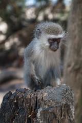Vervet monkey at Cape Vidal in iSimangaliso wetland park, South Africa