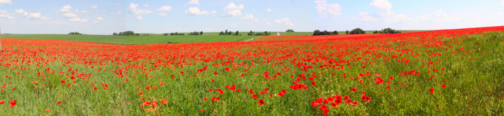 Spoed Fotobehang Klaprozen Flowers The red poppies bloom on a wild field. Beautiful red poppy fields with selective focus. soft light Natural remedies. Field of red poppies. Lonely poppy in the distant Orthodox temple