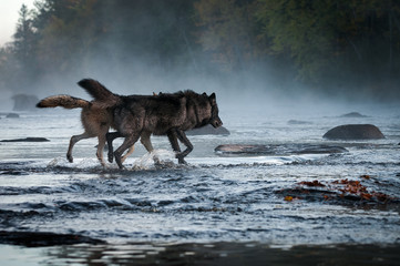 Wall Mural - Two Grey Wolves (Canis lupus) Run Into Foggy River Autumn