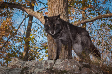 Fotomurales - Black Phase Grey Wolf (Canis lupus) Stands Atop Rock Autumn