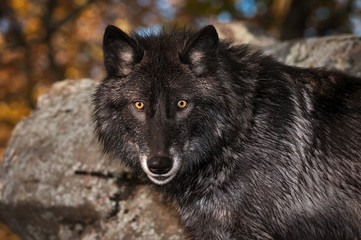 Fototapete - Black Phase Grey Wolf (Canis lupus) Looks Out Autumn