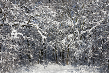 Wall Mural - winter forest covered with snow
