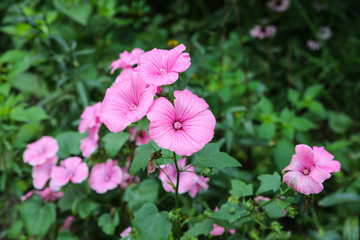 Beautiful pink flowers growing in the green home garden. Summer nature photo.