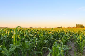 Foto auf AluDibond Kultur Green corn field