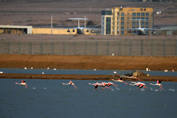 Flamingos fly over salt pools on the Israeli side of the border fence between Israel and Jordan, north to Eilat