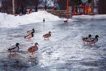 kaczki na lodzie