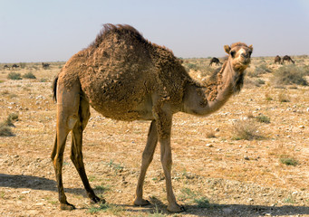 Camel Closeup in Tunisia