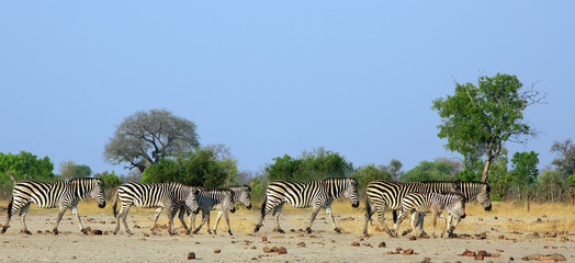 Herd of Plains Zebra walking across the dry arid savannah with a natural bush and hazy blue sky background. Hwange National Park, Zimbabwe