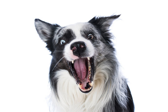 Border collie catches a treat