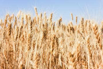 Wheat Tops