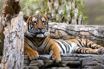 Beautiful Malayan Tiger lounges on the Rocks