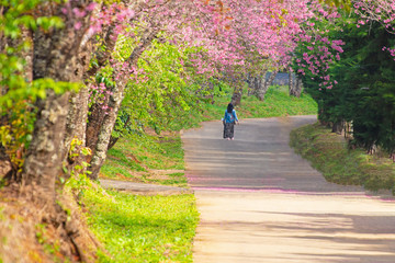 Cherry blossom on spring in the morning at north of Thailand, Place name Khun Wang located at Chiang Mai province.