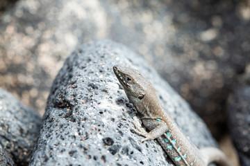 Canary small lizard basks in the sun.