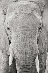 Close-up black and white picture of an African elephant walking towards the camera,taken in Ruaha National Park, Tanzania, Africa.
