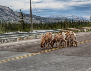 Mountain Goats Licking The Road