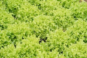 Lettuce farm. Green lettuce plants in growth at field.