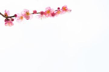 梅の花 白背景