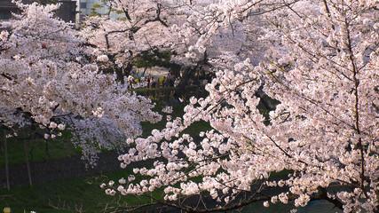 TOKYO,  JAPAN - CIRCA APRIL 2018 : Scenery of CHIDORIGAFUCHI area in SPRING CHERRY BLOSSOM SEASON.