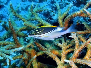 The amazing and mysterious underwater world of Indonesia, North Sulawesi, Bunaken Island, coral fish