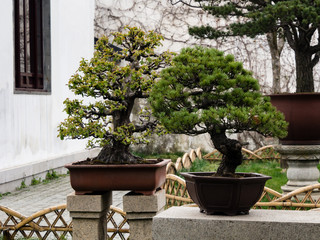 Two bonsai trees in classical Chinese garden