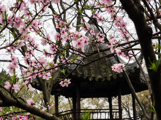 Plum tree blossoming in classical Chinese garden