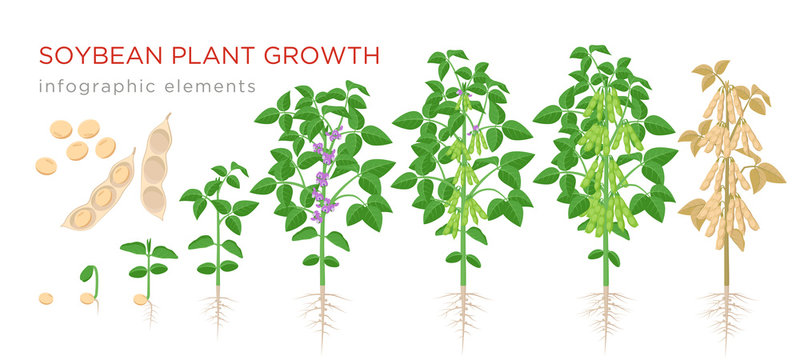 Soybean plant growth stages infographic elements. Growing process of soya beans from seeds, sprout to mature soybeans, life cycle of plant isolated on white background vector flat illustration.