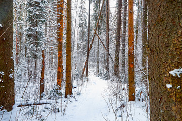 Snow covered trees in a winter forest. Red trunks of pine trees