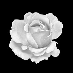 Monochrome fine art still life macro portrait  of a single isolated white rose blossom in vintage painting style on black background