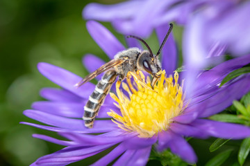 Yellow-banded furrow bee - Halictus scabiosae - pollinates an aster