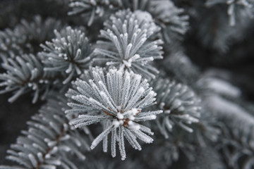 Pine tree covered with hoar frost close-up, beautiful winter background, copy space