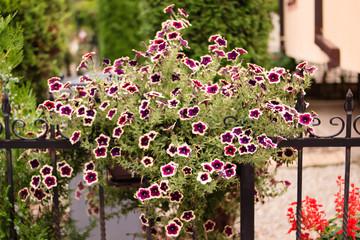 Flowers of petunias