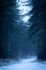 Foto op Canvas Bos pine forest in snow