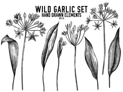 Vector collection of hand drawn black and white wild garlic