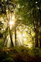 woodland trees in autumn sunlight