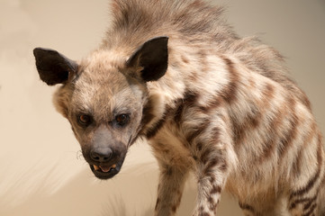 Animals, hyena