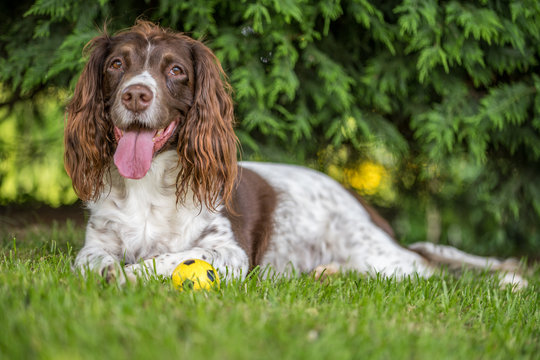 Brown and white springer spaniel laying down on the grass in the park.