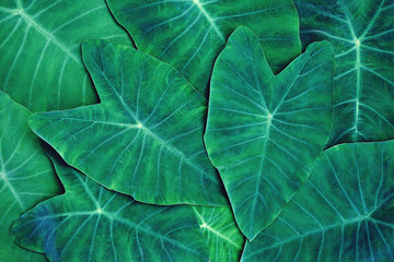 Green araceae leaf texture pattern, beautiful nature texture background concept