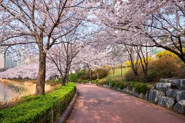 Blooming sakura cherry blossom alley in park