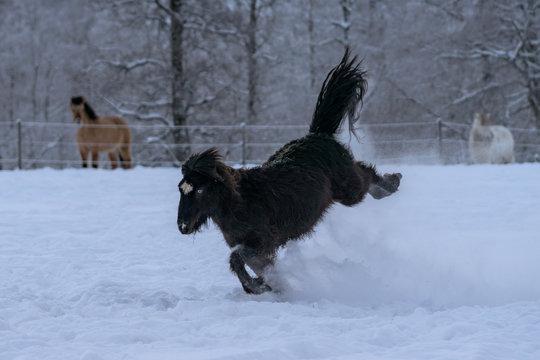 Black Icelandic horse with blue eyes bucking in deep snow