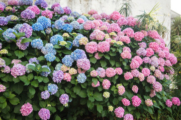 Fotomurales - Hydrangea is pink and blue flowers. Bushes are blooming in spring and summer in street garden by house.