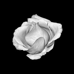 Fine art still life bright monochrome macro portrait of a single isolated rose blossom with detailed texture on black background in vintage painting style