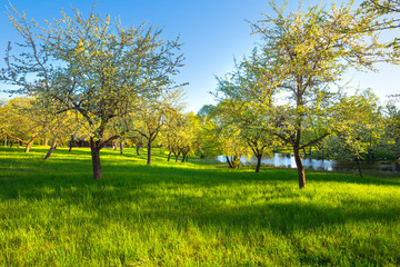 Spring apple garden
