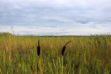 Landscape. Reeds in the swamp and the sky in the clouds
